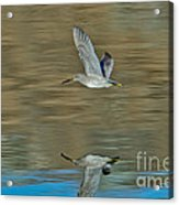 Short-billed Dowitcher And Reflection Acrylic Print