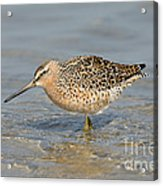 Short-billed Dowitcher, Breeding Acrylic Print