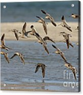 Short-billed Dowitchers Flying Acrylic Print