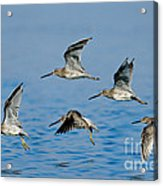 Short-billed Dowitchers In Flight Acrylic Print