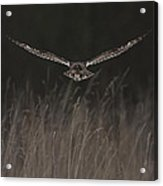 Short Eared Owl Focused Acrylic Print