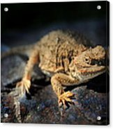 Short Horned Lizard Acrylic Print