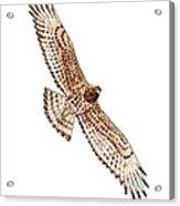 Short-toed Eagle, Artwork Acrylic Print