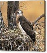 Short-toed Snake Eagle Circaetus Gallicus Acrylic Print