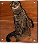 Shorthair Scottish Fold Cat Acrylic Print
