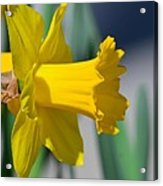Shout Out To Spring Acrylic Print