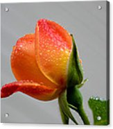 Showered Rose Bud Acrylic Print