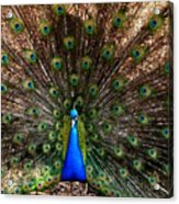 Showing All His Glory Acrylic Print