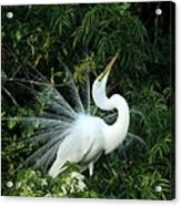 Showy Great White Egret Acrylic Print