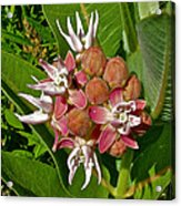 Showy Milkweed Along Hog Canyon Trail On Tour Of The Tilted Rocks In Dinosaur National Monument-utah Acrylic Print