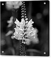 Obedient Plant In Black And White Acrylic Print