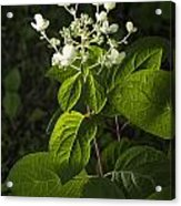 Shrub With White Blossoms Acrylic Print