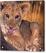 Shy African Lion Cub Wildlife Rescue Acrylic Print