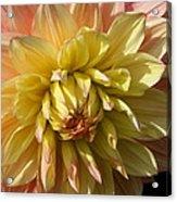 Shy Dahlia Beauty Acrylic Print