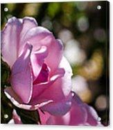 Shy Pink Rose Bud Acrylic Print