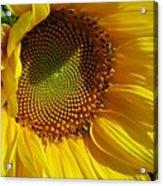 Shy Sunflower Acrylic Print