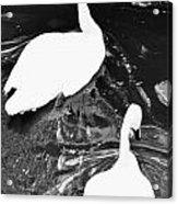 Shy Swans Acrylic Print