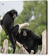 Siamang Monkeys Acrylic Print