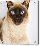 Siamese Cat Over White Acrylic Print