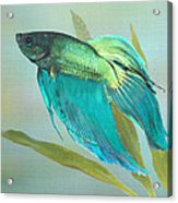 Siamese Fighting Fish Acrylic Print by IM Spadecaller