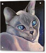 Siamese In Blue Acrylic Print