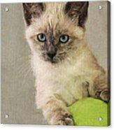 Siamese Kitten Acrylic Print