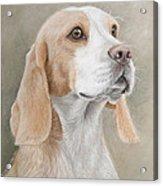 Beagle Portrait Acrylic Print