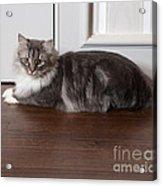 Siberian Forest Cat Acrylic Print