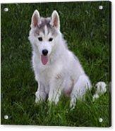 Siberian Huskie Pup Acrylic Print