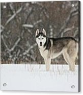 Siberian Husky 20 Acrylic Print