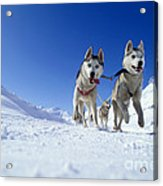 Siberian Husky Dogs Acrylic Print