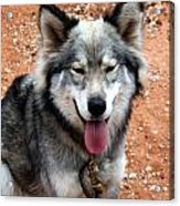 Siberian Husky With Blue And Brown Eyes Acrylic Print