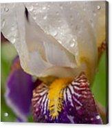 Siberian Iris I Acrylic Print