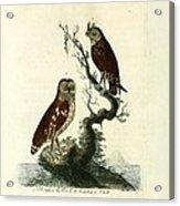 Siberian Owl And Acadian Owl Acrylic Print