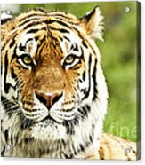 Siberian Tiger Beautiful Closeup Acrylic Print by Boon Mee
