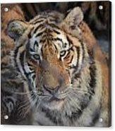 Siberian Tiger Acrylic Print by Brett Geyer