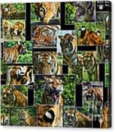 Siberian Tiger Collage Acrylic Print