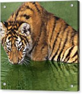 Siberian Tiger Cub In Pond Endangered Species Wildlife Rescue Acrylic Print