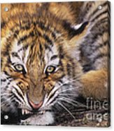 Siberian Tiger Cub Panthera Tigris Altaicia Wildlife Rescue Acrylic Print