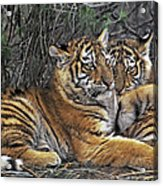 Siberian Tiger Cubs Endangered Species Wildlife Rescue Acrylic Print