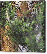 Siberian Tiger In Hiding Wildlife Rescue Acrylic Print