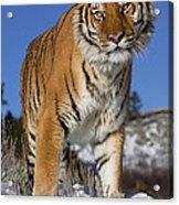 Siberian Tiger No. 1 Acrylic Print