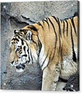Siberian Tiger Panthera Tigris Altaica Usa Acrylic Print