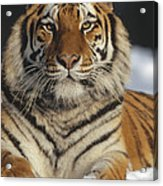 Siberian Tiger Portrait In Snow China Acrylic Print
