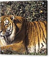 Siberian Tiger Stalking Endangered Species Wildlife Rescue Acrylic Print