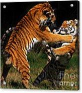 Siberian Tigers In Fight Acrylic Print