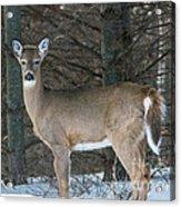 Side Of The Road Deer Acrylic Print