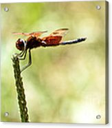 Side View Of A Calico Pennant Acrylic Print