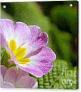 Side View Of A Spring Pansy Acrylic Print