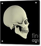 Side View Of Human Skull Acrylic Print by Stocktrek Images